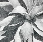 Agave, pencil on paper