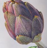 Artichoke No. 2, colored pencil on watercolor toned paper