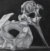 Bone Trio, charcoal on paper