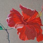 Hibiscus Bloom, colored pencil on toned paper